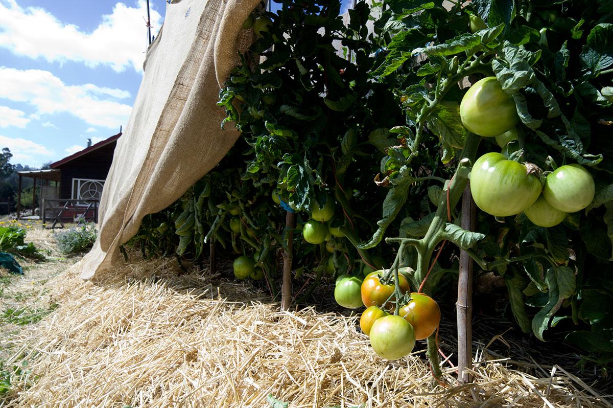 Alysha Popovitch Tomatoes