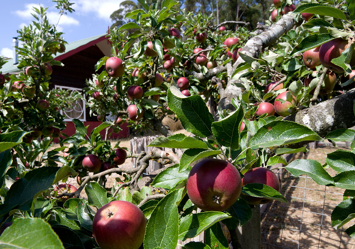 Coxs Red Pippin apples